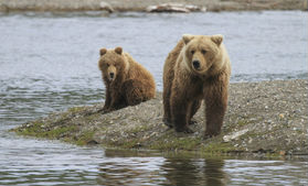 brown bears alaska