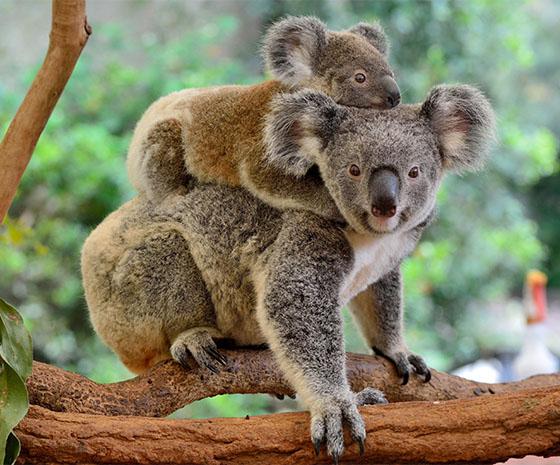 Kiwis, Koalas & Kangaroos