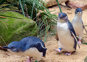 Penguin Parades to Pinot Noir: the Wild Side of Australia & Tasmania